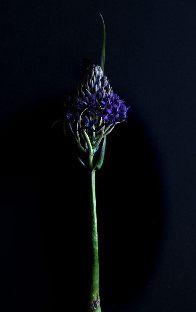 photo studio de virginie pérocheau. Fleur bleue sur fond noir avec une lumière en contre-jour