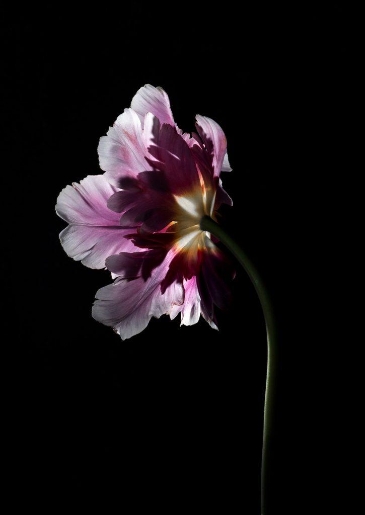 photo studio de virginie pérocheau. Tulipe rose vue de profil en gros plan sur fond noir avec une lumière en contre-jour