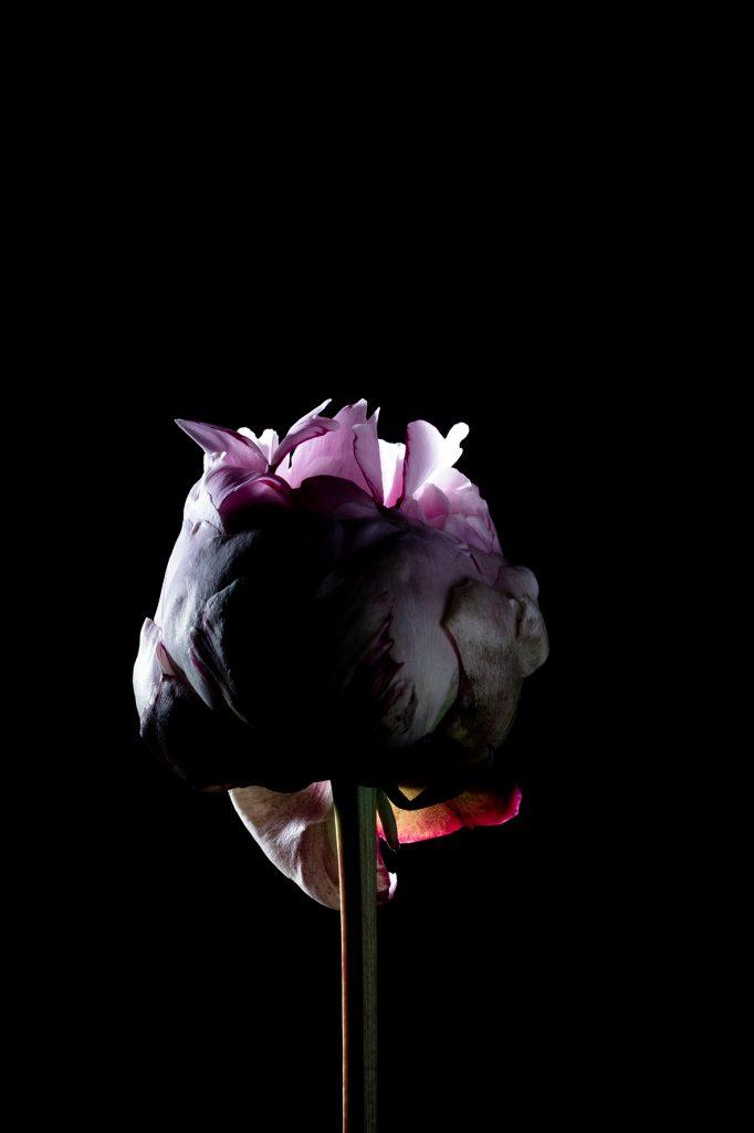 photo studio de virginie pérocheau. Pivoine rose vue de face en gros plan sur fond noir avec une lumière en contre-jour