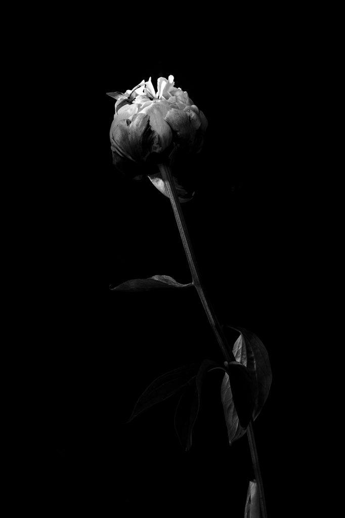photo studio en noir et blanc de virginie pérocheau. Pivoine rose vue de face avec sa longue tige sur fond noir