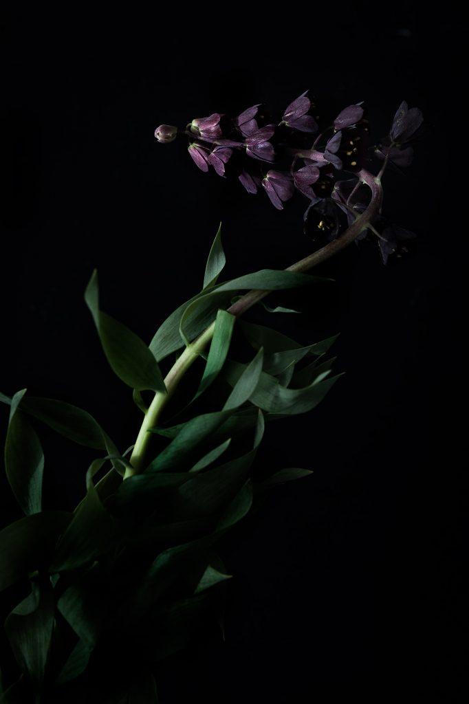photo studio de virginie pérocheau. Fleurs clochettes bordeau foncée vue de profil avec ses feuilles vertes
