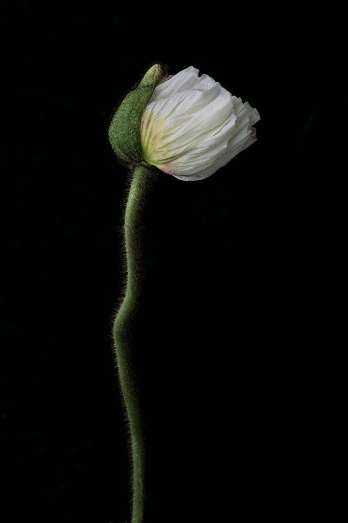 photo studio de virginie pérocheau. Pavot blanc et vert vue de profil.