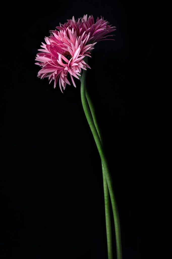 photo studio de virginie pérocheau.Gerbera rose entrelacéssur fond noir avec une lumière en contre-jour