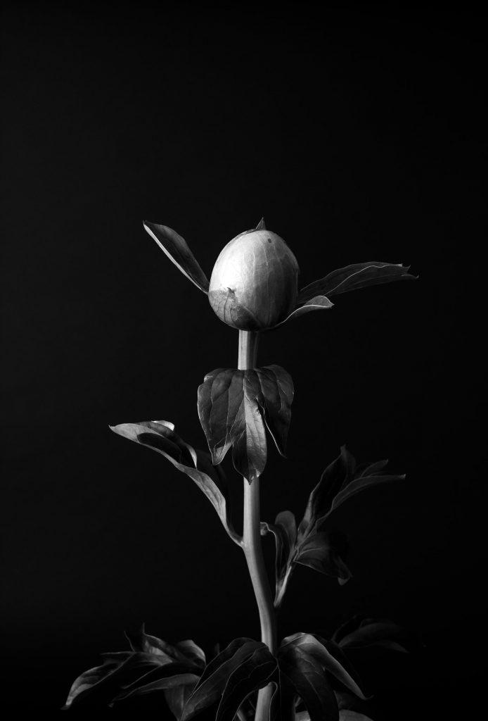photo en noir et blanc de virginie perocheau. Pivoine en bouton. Elegance de la tige, mouvement des feuilles