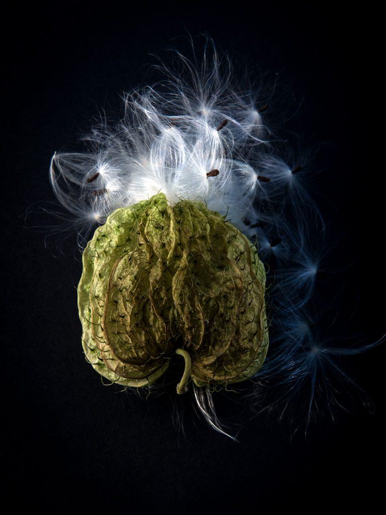 fleur dite couille du pape qui a libéré ses graines sur fond noir photo de virginie pérocheau.Série figures
