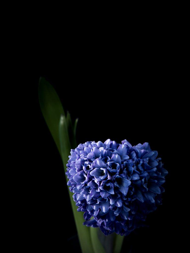 Jacinthe bleue sur fond noir photo de virginie pérocheau.Série figures